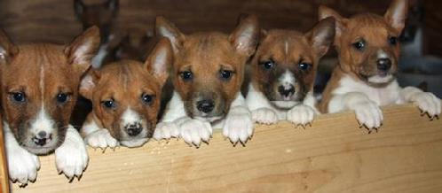 Basenji Puppies And Paint Horses